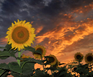 Gorgeous photo of sunflowers courtesy of Rob Seifert.